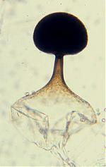 Utharomyces vesicle ruptured at maturity.