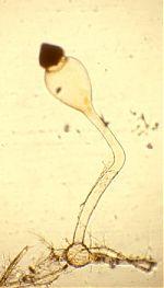 Pilobolus roridus var. umbonatus trophocyst, sporangiophore, vesicle, and sporangium