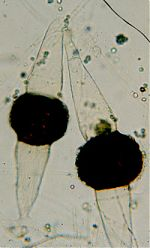 Rhizopus stolonifer zygospores